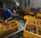 Penyakit Flu Burung di China